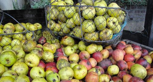 La récole des pommes à cidre