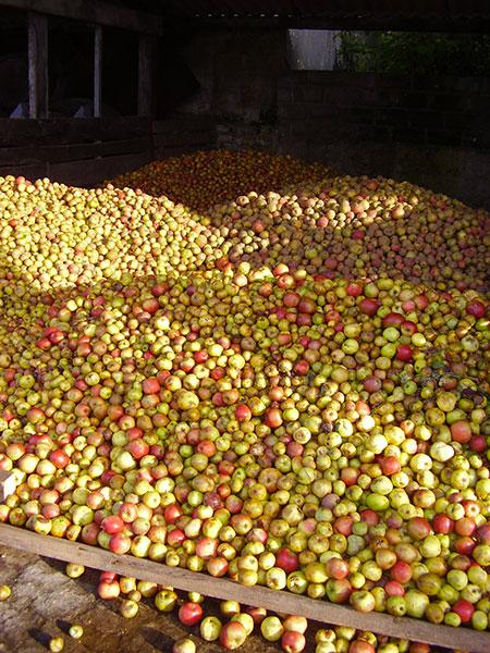 La récole de pommes